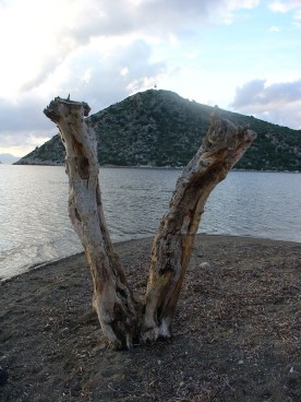 A V-shaped tree trunk at the edge of the water in front of a dry hill.