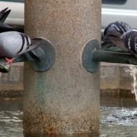 Tauben-Tränke am Brunnen
