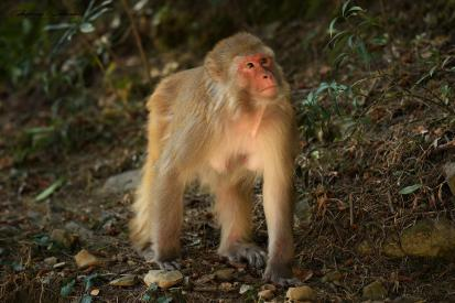 Indie Himalaje las małpki pies. 22.03.2019 Fot Maciej Załuski
