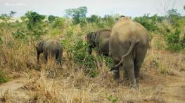Srilanka-słonie-bawoły-safari-małpy-październik-2012-Fot-Maciej-Załuski-20