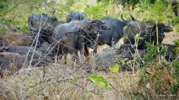 Srilanka-słonie-bawoły-safari-małpy-październik-2012-Fot-Maciej-Załuski-25