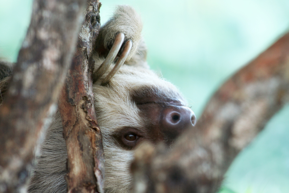 Sloth, Costa Rica, Animal, Las Paz