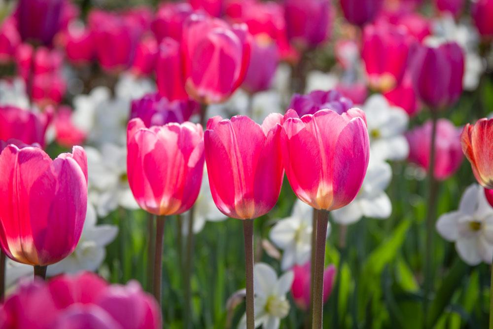 Tulip Festical