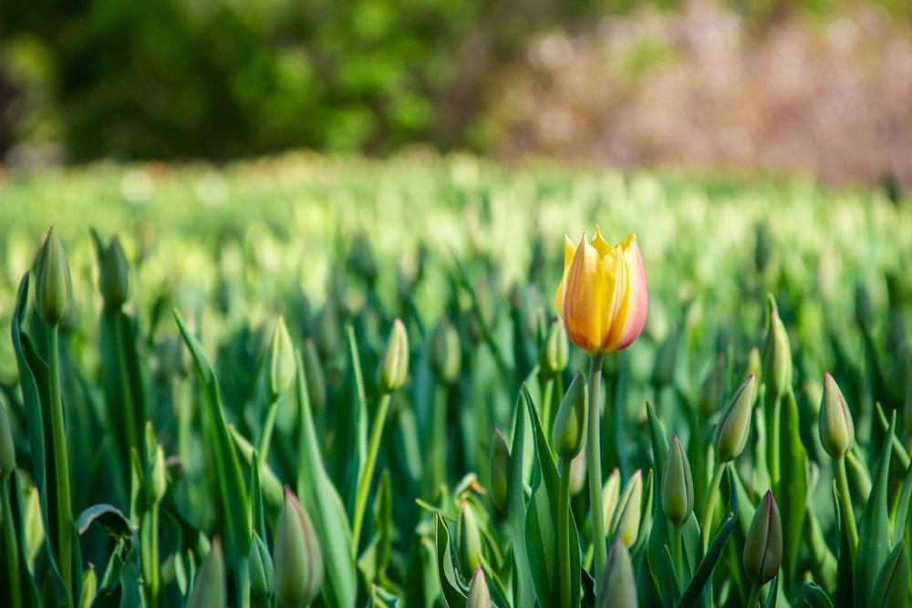 Tulip, Buds, Ottawa, Tulip, Festival