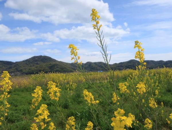 【笠岡ふれあい空港】黄色、ずっとつづく菜の花,岡山県