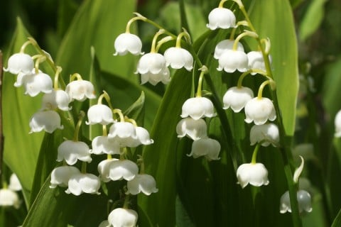すずらん,スズラン,開花の時期は,4月~5月,毒性あり