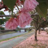 ~桜,桜並木,桜吹雪~道の駅、はが、ロマンの湯,温泉,栃木県