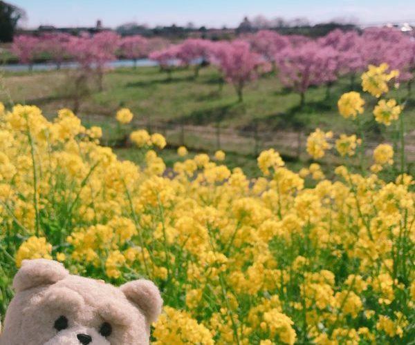 【菜の花・茨城】黄色の絨毯・新福雷橋・小貝川の堤防 茨城県 2020年3月下旬