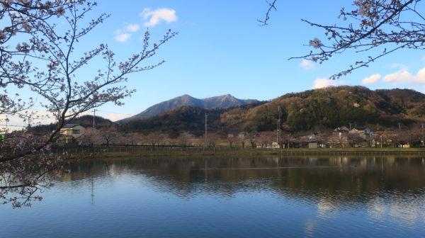 【桜】大池公園・茨城県、池の周囲の桜並木・2020年3月