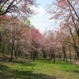 【桜】北海道の桜の名所 まとめ 一覧