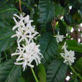 【白い花】アラビカコーヒーの木