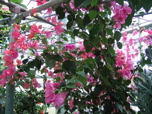 【ピンクの花】ブーゲンビリア