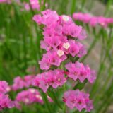 【ピンクの花】ハナハマサジ