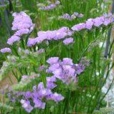 【紫の花】ハナハマサジ