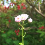 【ハルジオン】花びらが毛糸みたい