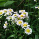 【ピンクの花、白い花】ハルジオンかヒメジオンか