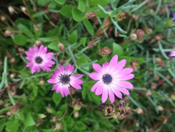 【ピンクの花】ディモルフォセカ アフリカキンセンカ属