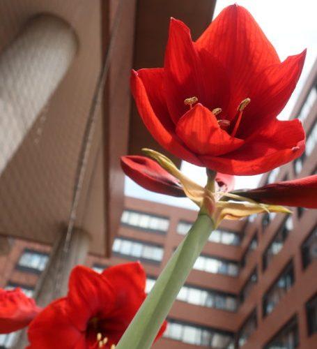 【赤い花】アマリリス