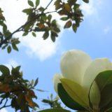 【白い花】タイサンボク Magnolia