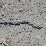 【蛇】名前、わからない、シロマダラ、アオダイショウ 北海道 高見ダムの途中で遭遇