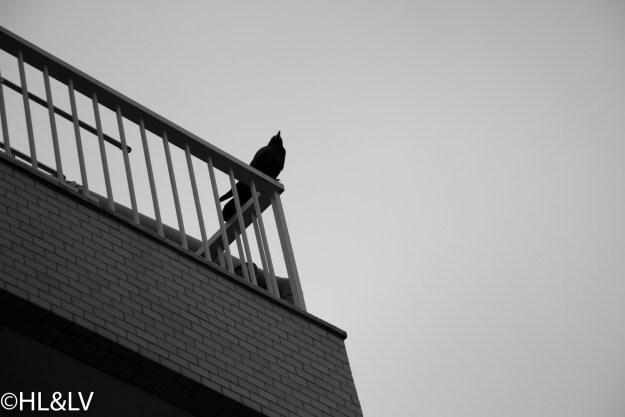 市井小路之乌鸦