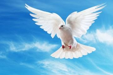 Pombo branco (paz)