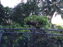 Brushturkey