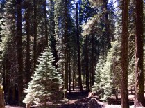 Trail of the Sequoias 8
