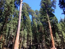 Trail of the Sequoias 9