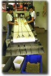 Hand sorting macadamias
