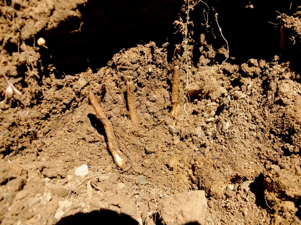 Roots found in excavation