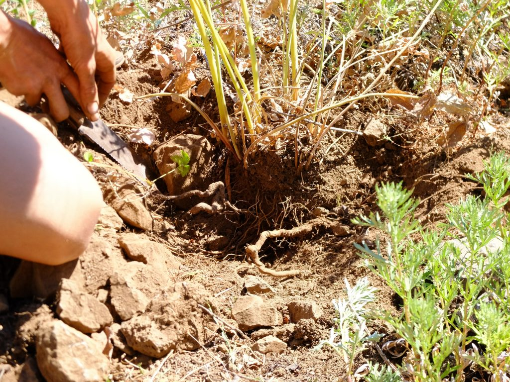 Digging roots of Western Sweet Cicily (Osmorhiza occidentalis)