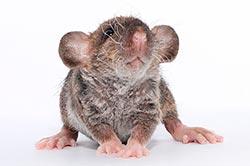 Борьба с крысами и мышами: эффективные средства и методы борьбы, позволяющие одолеть грызунов