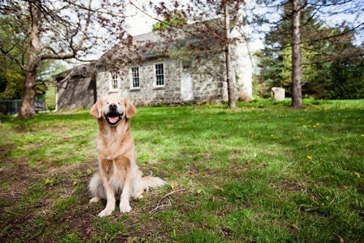 800993_smiley-blind-therapy-dog-golden-retriever-stacey-morrison-6