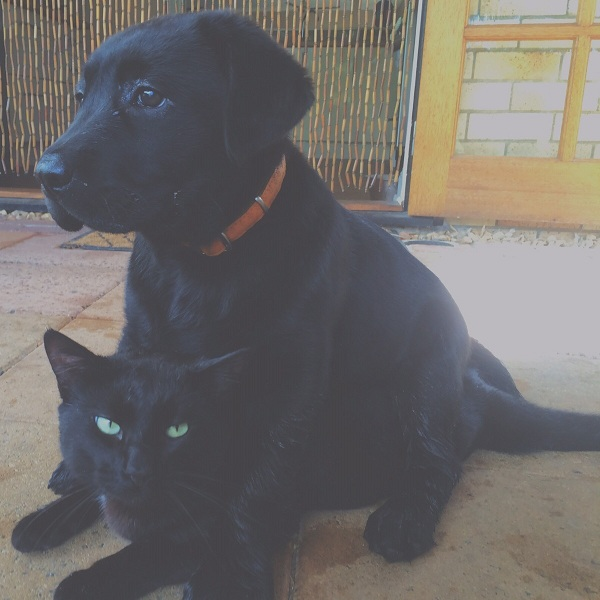 lab-puppy-and-cat