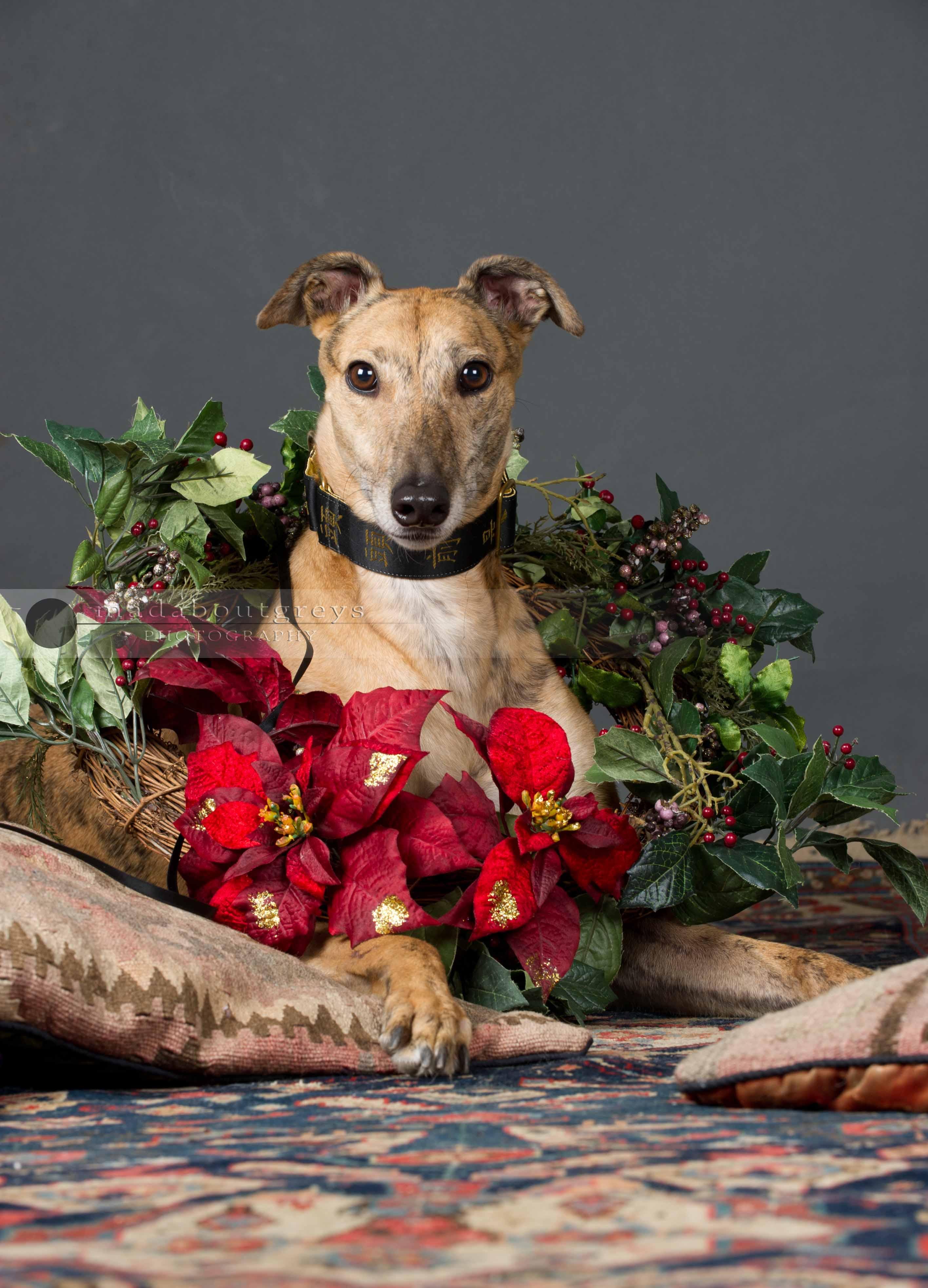 Wimbledon Greyhound Welfare Christmas Cards Surrey Dog