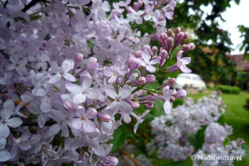 Lilas en el Manoir des Prévanches, Boisset-les-Prevanches