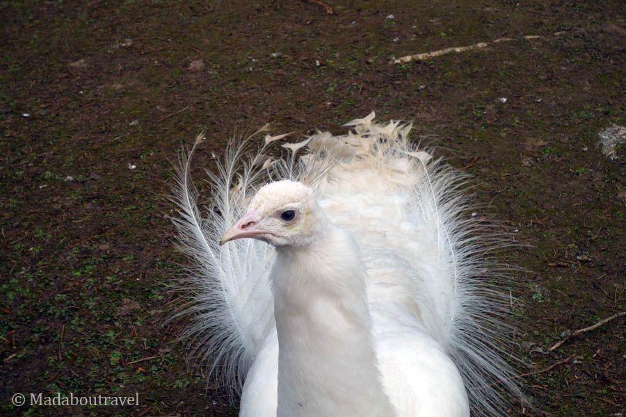 Pavo real albino en el parque de la Pepinère de Nancy