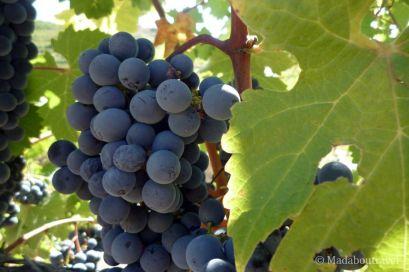 Racimo de uvas a punto de la vendimia en Mas Blanc, DO Priorat