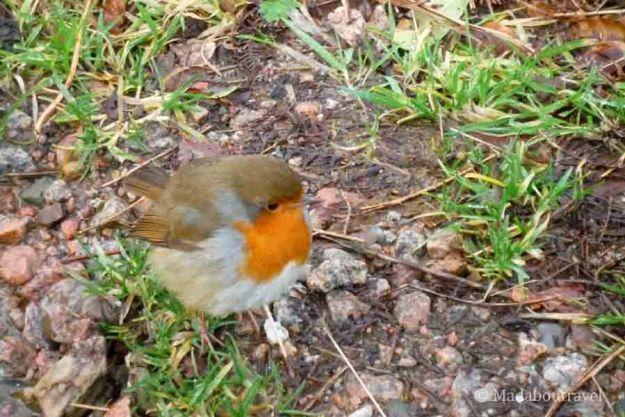 Un petirrojo en las Highlands
