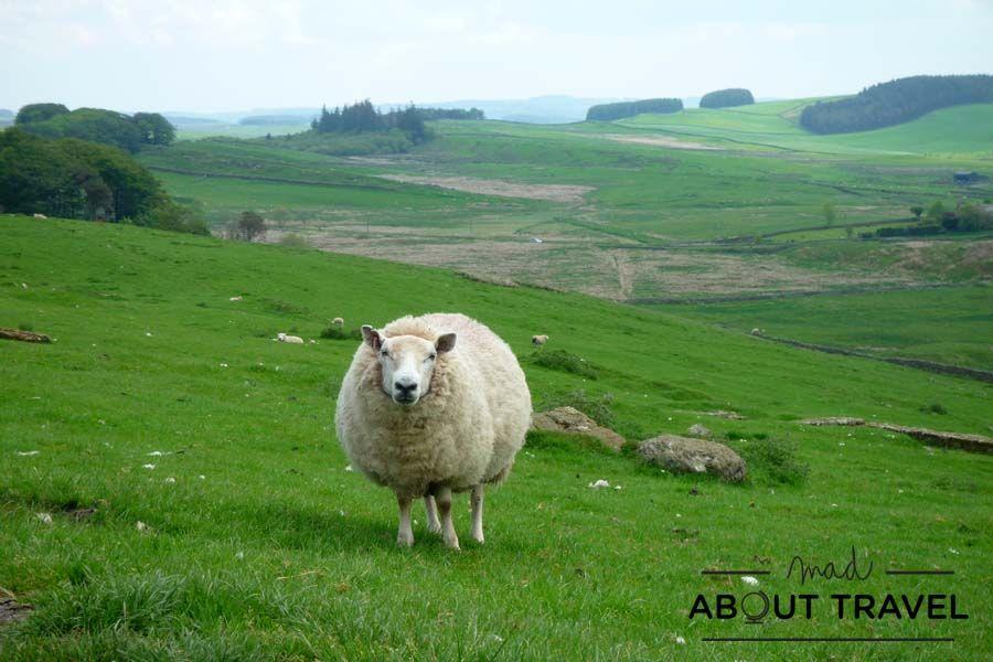 Una oveja curiosa junto al Muro de Adriano