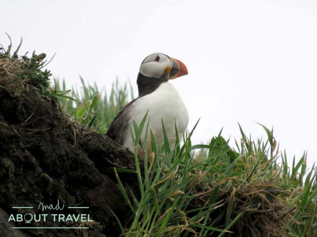 Puffin en la Isla de May