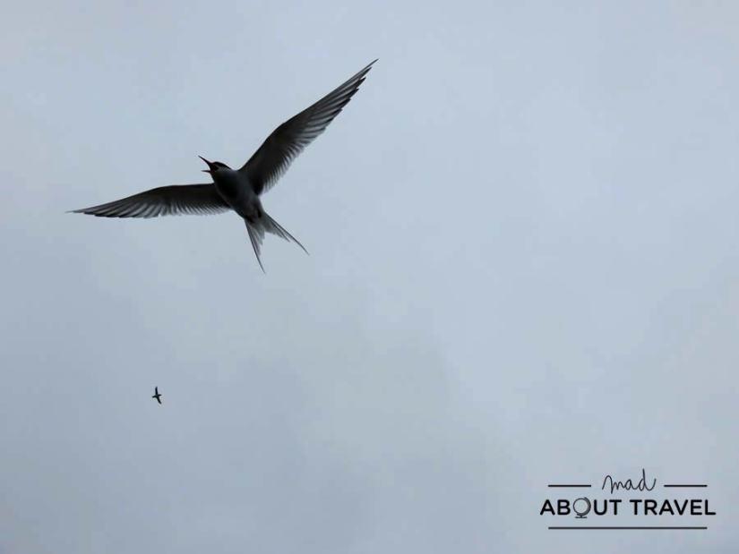 Charrán ártico a punto de atacar en la Isla de May en Escocia