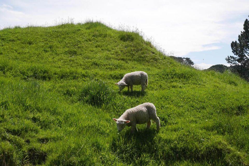 ovejas en hobbiton Nueva Zelanda