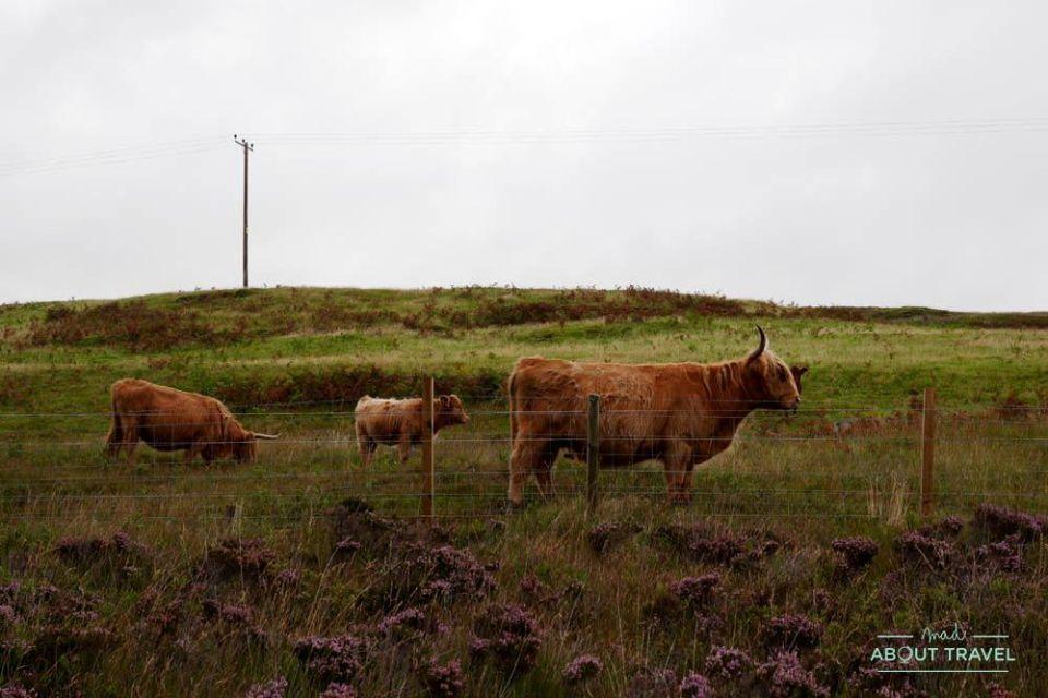 vacas de las highlands en la isla de mull
