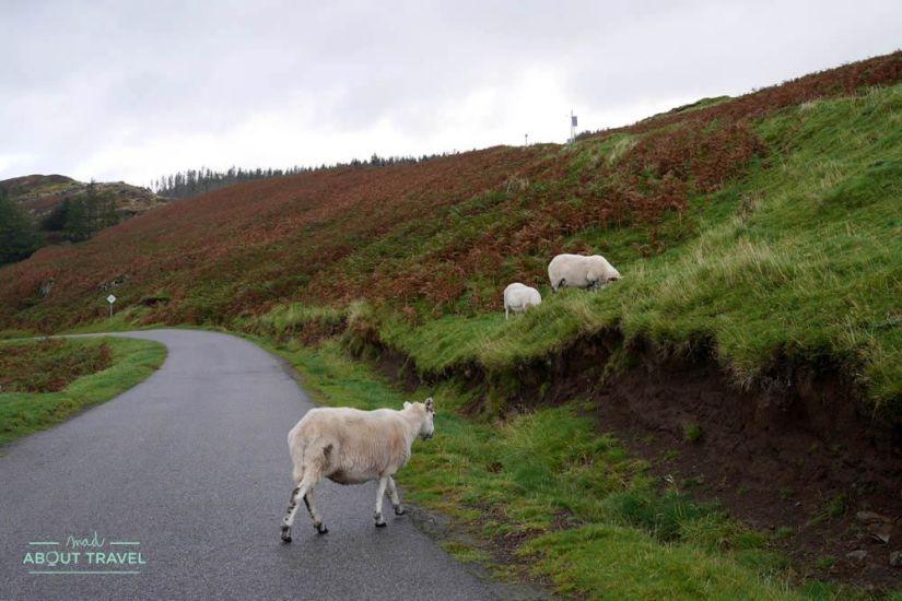 ovejas en la carretera en la isla de mull