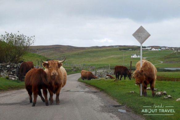Vacas peludas - Ruta North Coast 500 Escocia