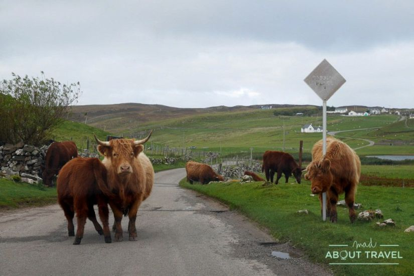 Vacas peludas - Ruta North Coast 500 Escocia