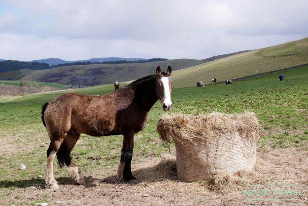 caballo en los borders de Escocia