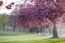 Floración de los cerezos en Edimburgo